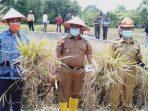 Ngarai Saiyo Panen Raya, Wako Ramlan : Pertahankan Pertanian Untuk Dukung Pariwisata