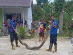 Ular Piton Panjang 5 Meter Gegerkan Warga Padang Kaduduak
