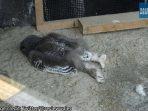Bayi Burung Hantu Tidur